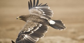 The Steppe Eagle